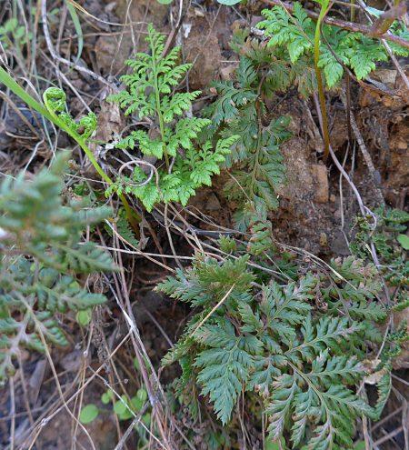Aspidotis-californica-plant