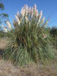 Cortaderia jubata plant