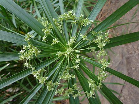 Cyperus involucratus flowers