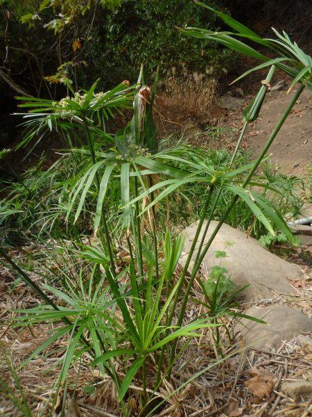 Cyperus involucratus plant