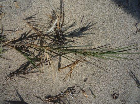 Distichlis spicata plant