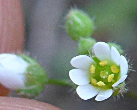 Draba verna flower