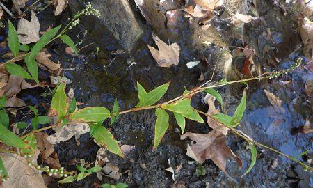 Persicaria lapathifolia plant