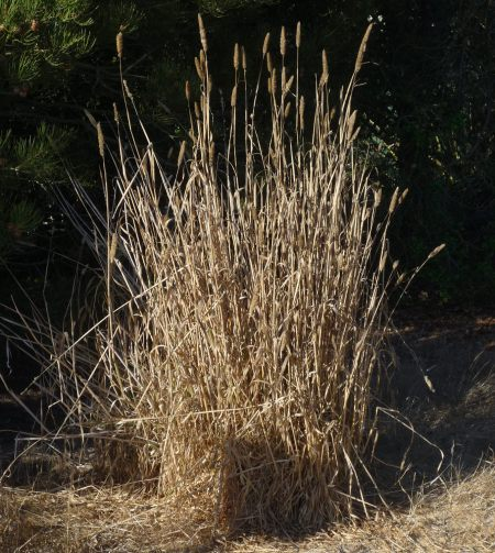 Phalaris-lemmonii-plant