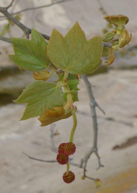 Platanus racemosa flowers