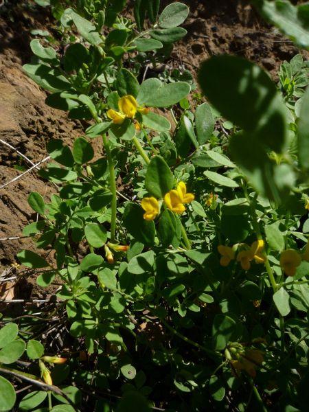 Acmispon maritimus plant