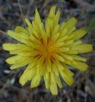 Agoseris heterophylla flower