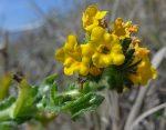 Amsinckia spectabilis flowers