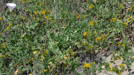 Amsinckia spectabilis plants