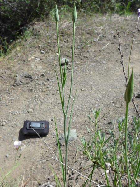 Calochortus catalinae plant