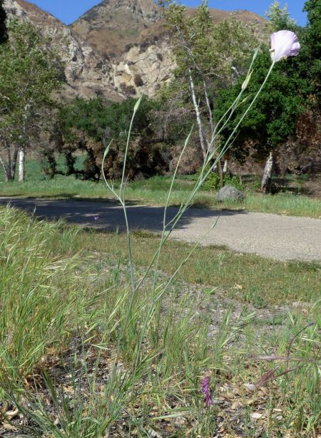 Calochortus splendens plant