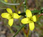 Camissonia strigulosa flowers