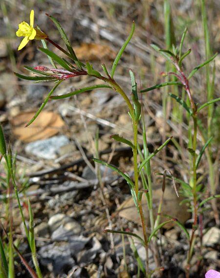 Camissonia strigulosa plant