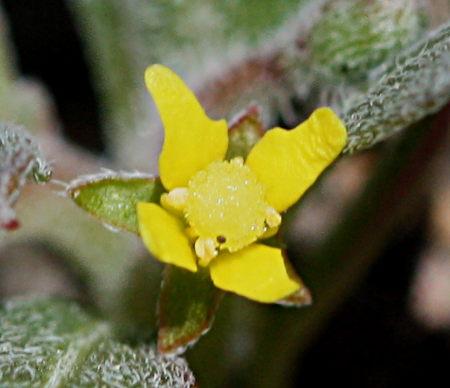 Camissoniopsis ignota flower
