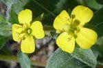 Camissoniopsis ignota flowers