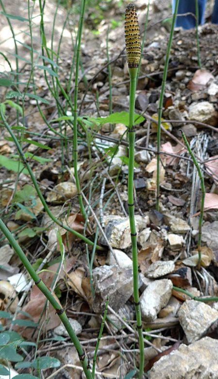 Equisetum laevigatum plant