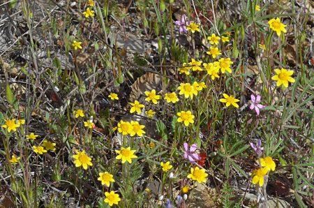 Lasthenia gracilis flowers