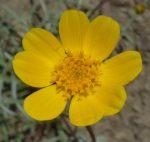 Leptosyne bigelovii flower