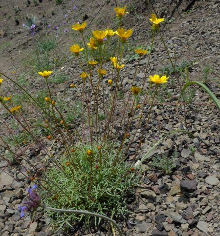Leptosyne bigelovii plant (side view)