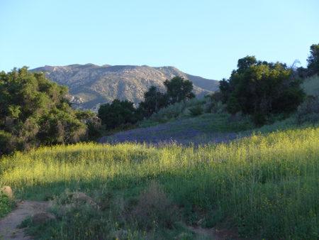 Lupine Hillside Far