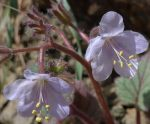 Phacelia parryi flowers