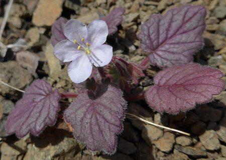 Phacelia parryi plant