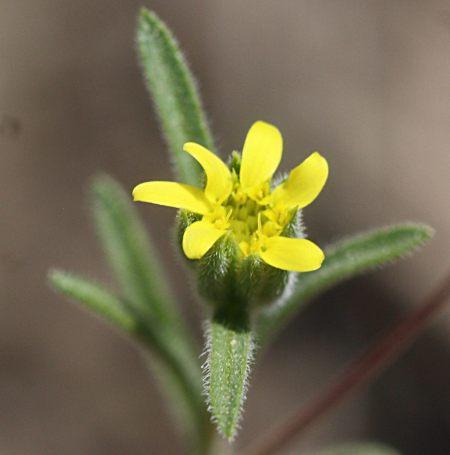 Rigiopappus leptocladus flower