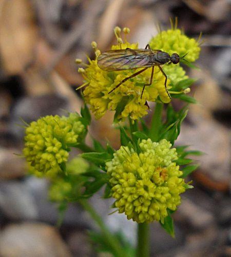 Sanicula arguta flowers+bug