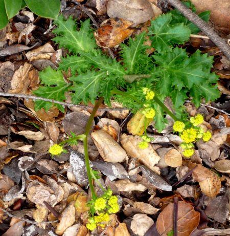 Sanicula arguta plant