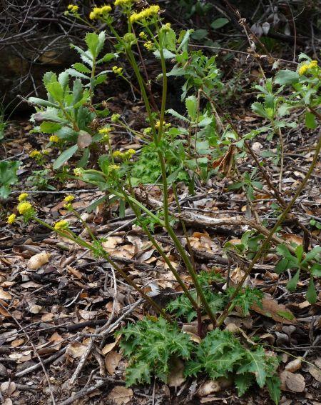 Sanicula arguta plant2