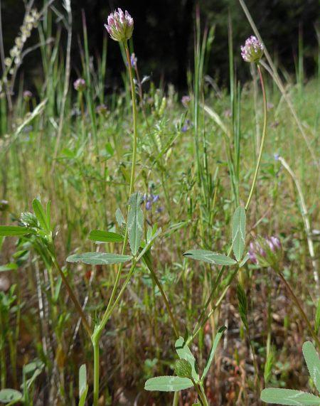 Trifolium cilliolatum plants
