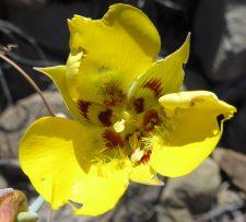 Calochortus calvatus clavatus