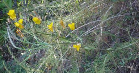 Calochortus clavatus plant