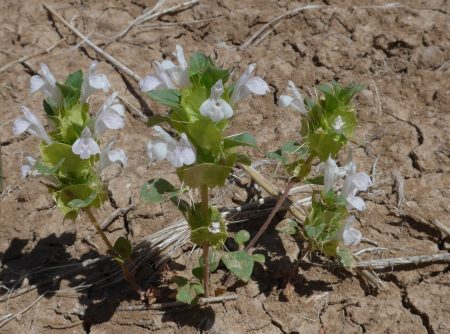 Acanthomintha obovata plant