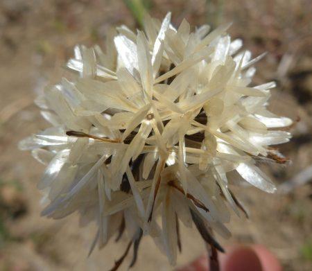 Achyrachaena mollis seedhead