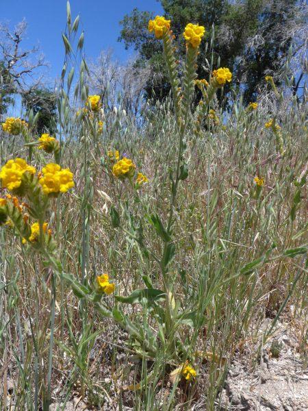 Amsinckia douglasiana plant