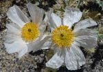 Argemone munita flowers