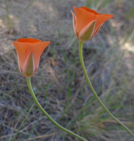 Calochortus kennedyi two flowers