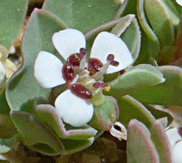 Chamaesyce albomarginata flower