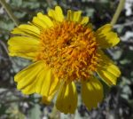Encelia actoni flower