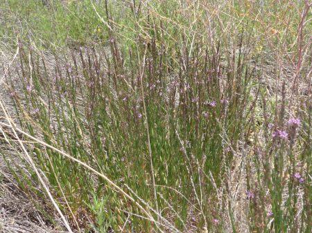 Epilobium densiflorum plant