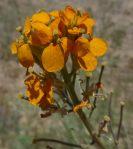 Erysimum capitatum flowers