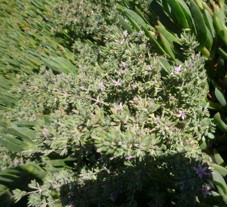Frankenia salina plant
