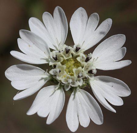 Hemizonia congesta ssp. luzulifolia flower