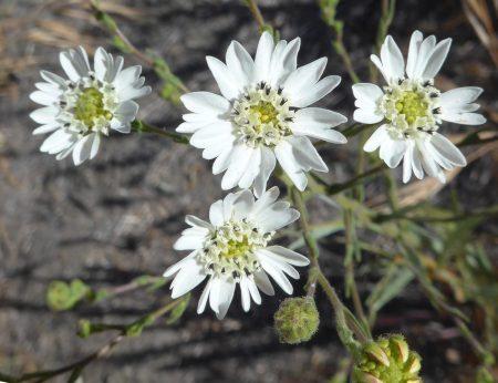 Hemizonia congesta ssp. luzulifolia flowers