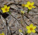 Leptosiphon aureus flowers