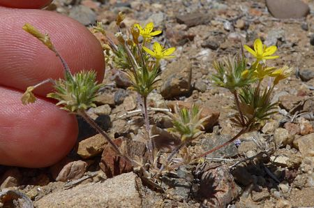 Leptosiphon aureus plant