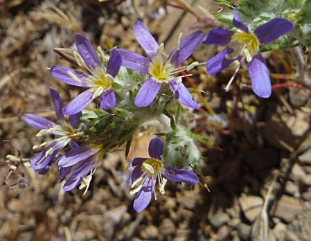 Leptosiphon bicolor flowers