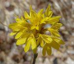 Lessingia lemmonii flowers