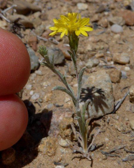 Lessingia lemmonii little plant